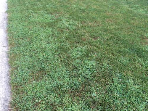 lawn filled with crabgrass