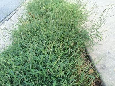 Pro lawn care tips about killing crabgrass in your lawn in Ashburn, Aldie, or Leesburg, VA