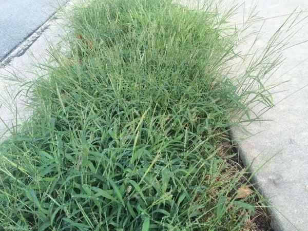crabgrass lawn weed