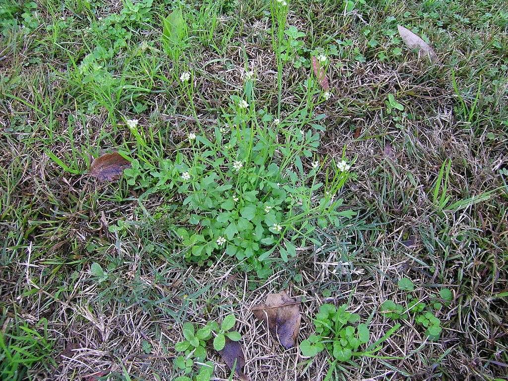 Bittercress lawn weed