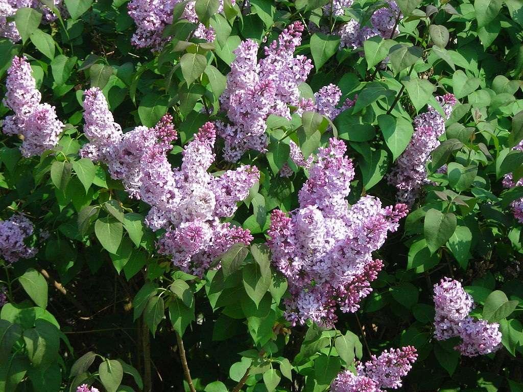 Deer resistant Common Lilac shrub