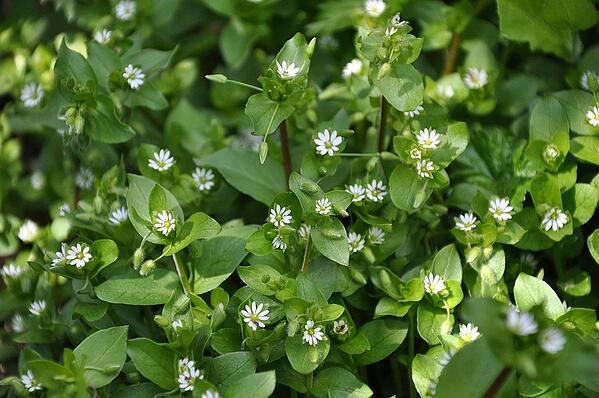 common chickweed lawn weed
