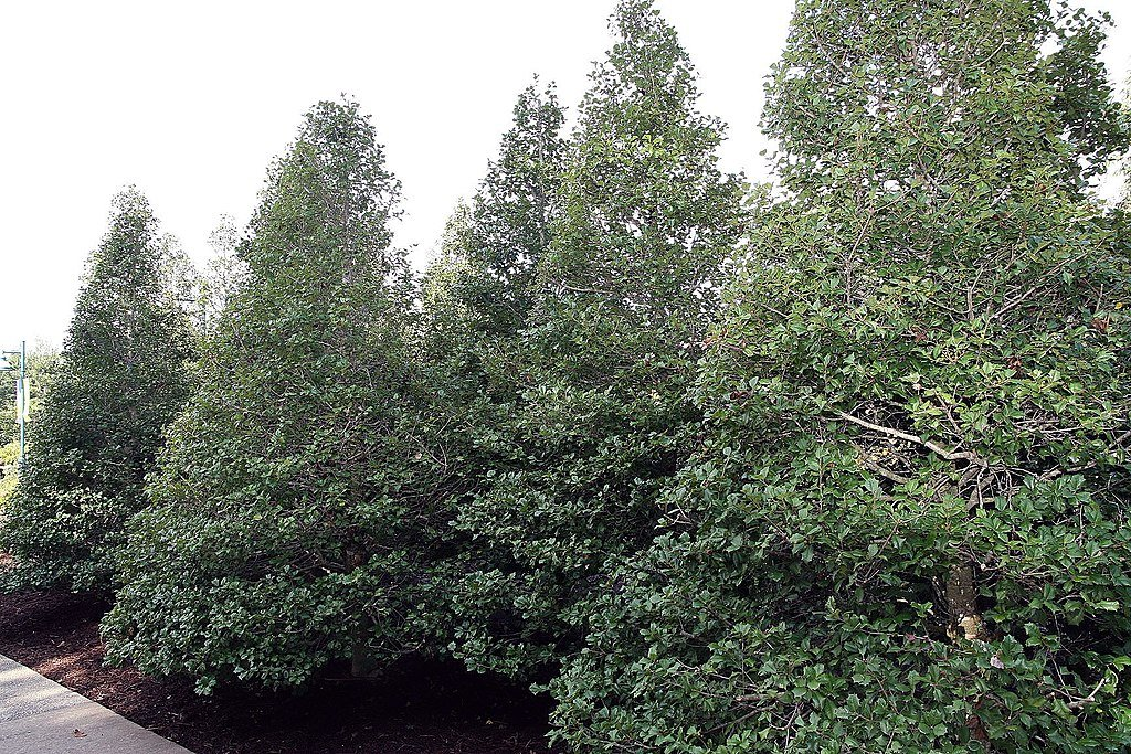 american holly trees