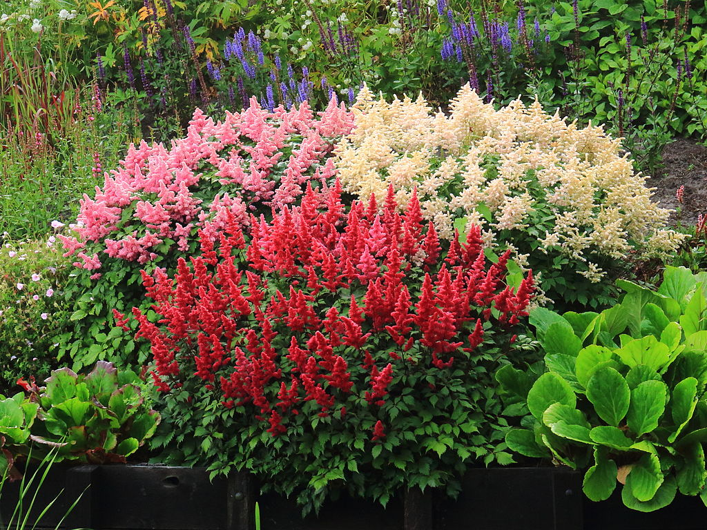astilbe flowers