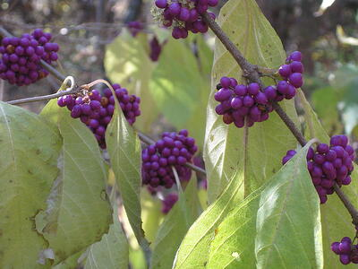 Deer resistant trees, shrubs and plants for Aldie, Ashburn and Leesburg, VA
