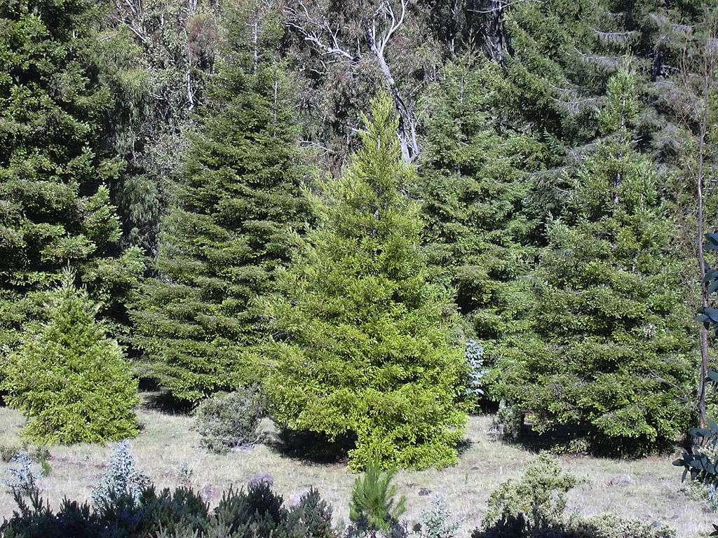 cryptomeria trees