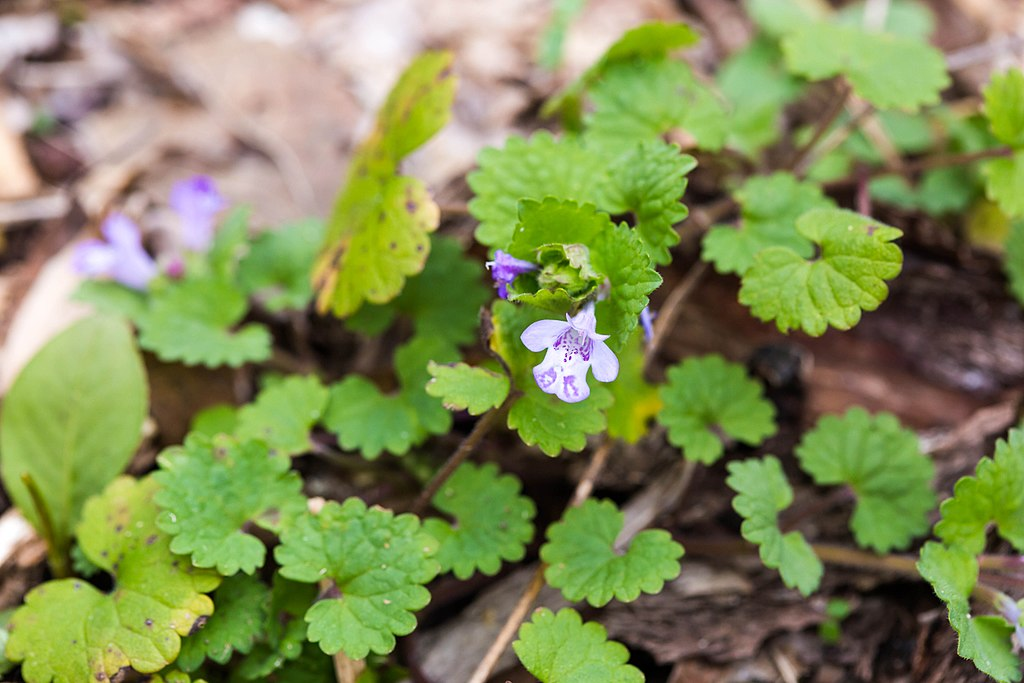 Ground ivy lawn weed