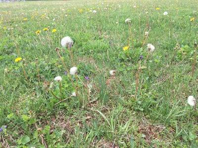 Weedy lawn 2