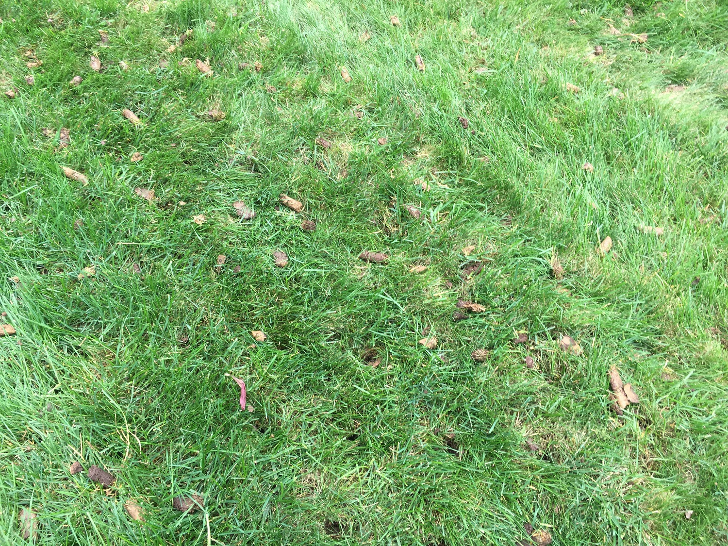 lawn aeration plugs in grass