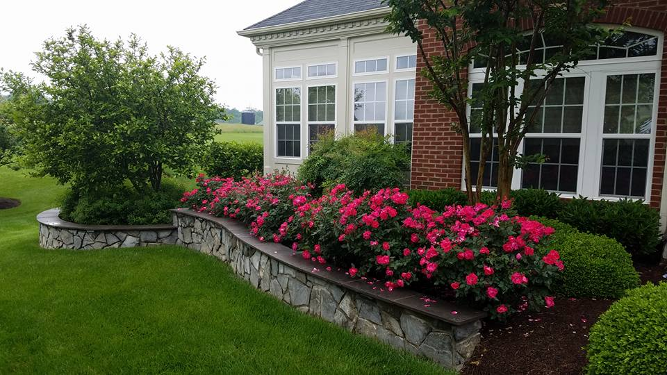 stone-wall-roses-planting