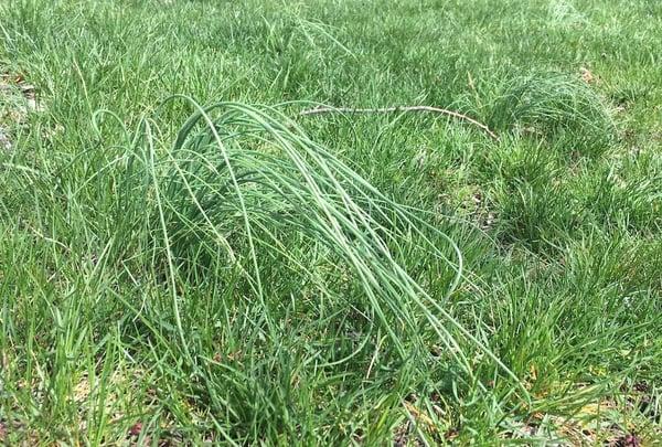 wild garlic onion lawn weed