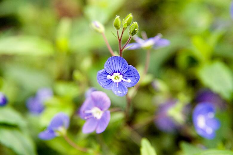 creeping speedwell lawn weed