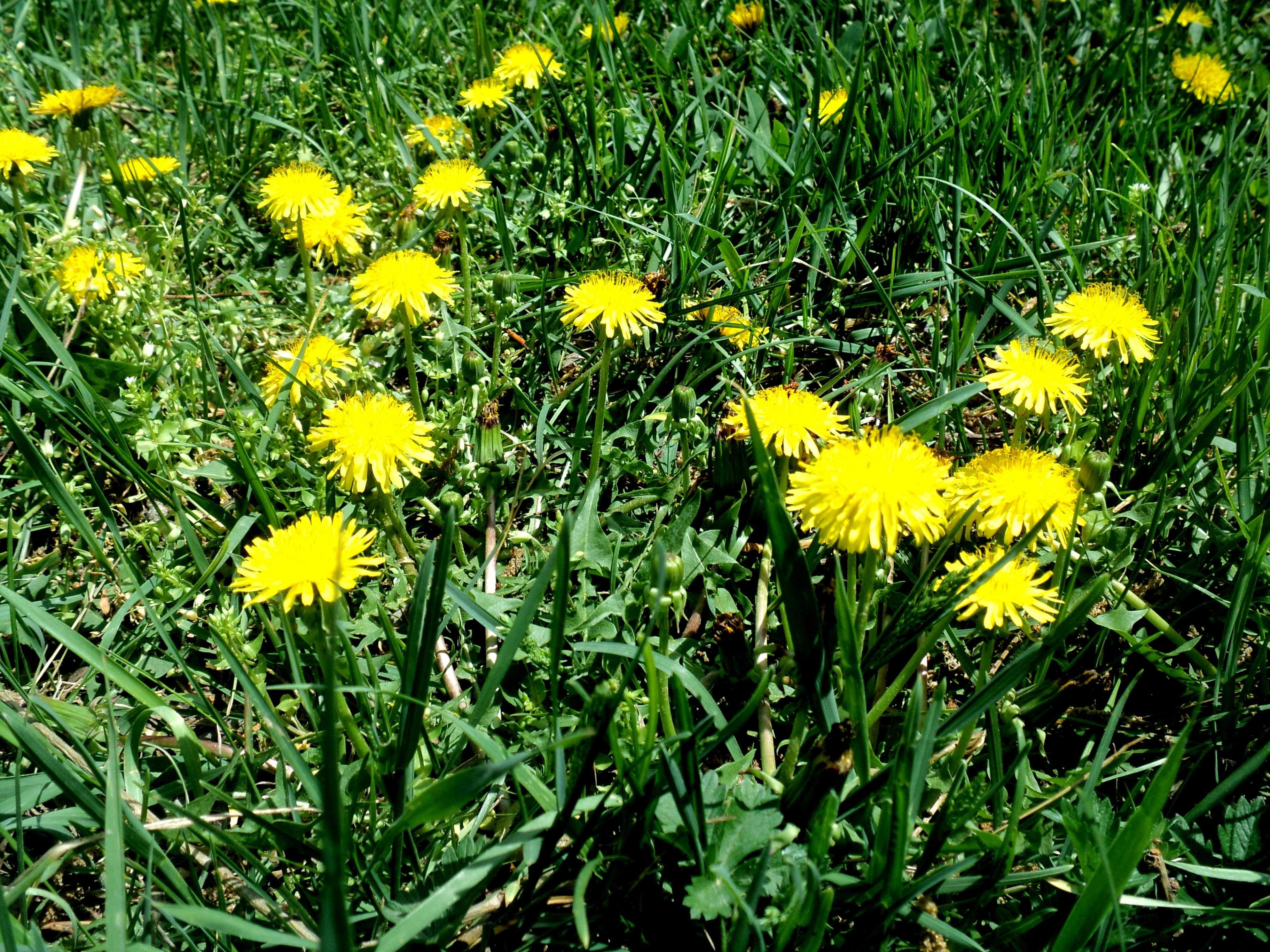 Dandelions in grass