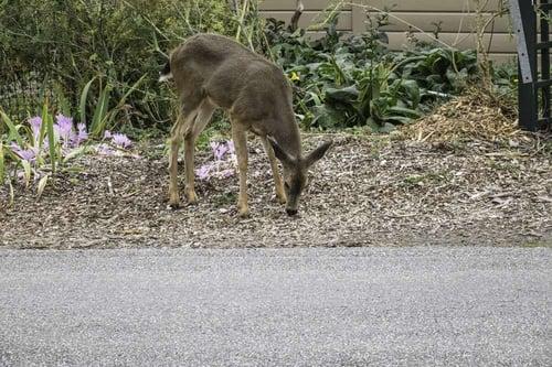 deer resistant plants landscape design Virginia