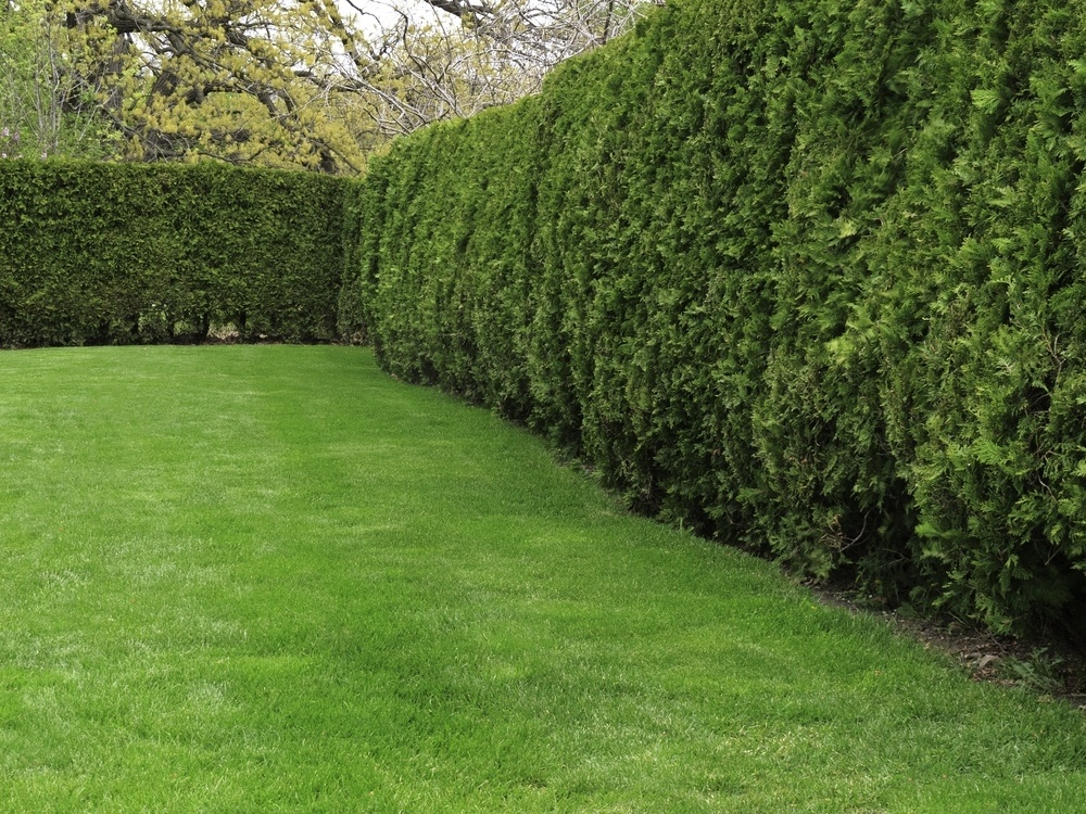 Arborvitae privacy fence drought resistant