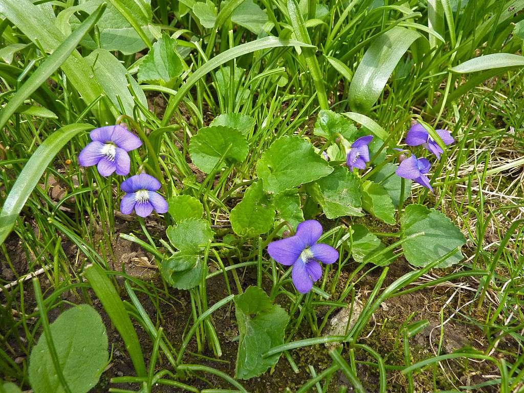 Wild Violet weeds in lawn